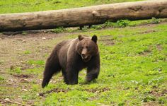 Join this wonderful tour in Romania - Bear watching tours in Transylvania: Private Guide