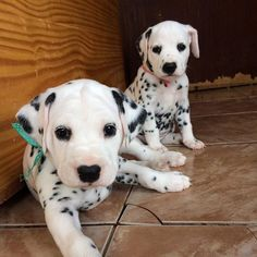 Theodoro e Cirilla Dalmatian puppies