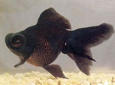 Chinese Goldfish. Good Luck for Feng Shui. Stock aquarium with 9 Goldfish...8 Red and 1 Black.
