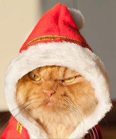Jolly grumpy Christmas cat :)