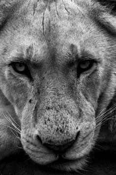 #lion #animals #photography #beautiful #black and white #bw #b&w #eyes