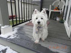 Mac, Westhighland White Terrier