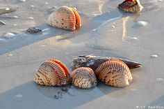 Shelling is abundant on Sanibel & Captiva Island beaches.