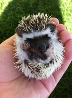 A Tiny Little Hedgehog!! That is so adorable!!