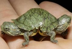 Mutated turtle
