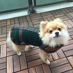 ❄️ I'm not one of those dogs that likes the cold ❄️ Featured Pawsome Pet: Pom Pom Chewy http://www.mypawsitivelypets.com/2016/02/featured-pawsome-pet-pom-pom-chewy.html