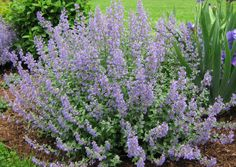 Catmint - Nepeta racemosa 'Walker's Low'