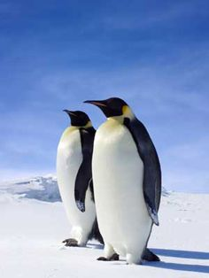 types of penguins Penguin Images, Penguin Pictures, Different Types Of Penguins, Penguin World, Penguin Facts, Macaroni Penguin, Galapagos Penguin, March Of The Penguins, Humboldt Penguin