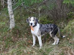 """Norwegian hunting dog; """"Dunker"""" race, imported from Germany ca. 1650. Hunts hare in fall and winter. His name is """"Sang II"""" (  meaning  song - numer two after his grandfather.) Intelligent, good humored, love children, folks and other dogs. Playful- a personality."""