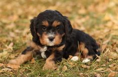 Meet our adorable Cavalier and Cavapoo puppies for sale. Small, family owned breeder of AKC champion line Cavaliers. All pups have a Health Guarantee and are Well Socialized by our family at Willow Ridge farm! King Charles Puppy, King Charles Spaniel, Cavalier King Charles, Forever Puppy, Cavapoo Puppies For Sale, Poodle Mix, Puppy Food, Therapy Dogs, New Puppy