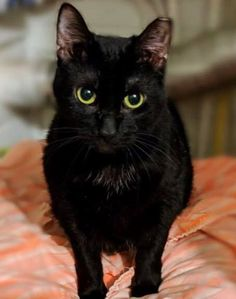 Sable: 3 year old domestic short hair black.  Sable is blind.  For more info: www.hospicehearts.org