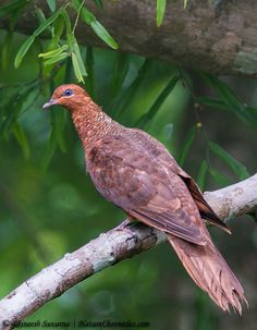 Andaman Cuckoo Dove (Macropygia rufipennis) - endemic to the Andaman and Nicobar Islands. It is becoming rare due to habitat loss. Pretty Birds, Beautiful Butterflies, Beautiful Birds, Exotic Birds, Colorful Birds, Feral Pigeon, Weird Birds, Dove Pigeon, N Animals