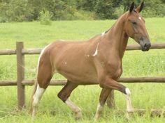 Opera do Barulho - Campolina mare Campolina, Horse Armor, Vibrant Colors, Colours, Arabian Horses, Simply Beautiful, Advent Calendar, Husky, Creatures
