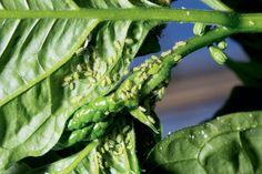 Ako si poradiť s voškami v skleníku?   Záhrada.sk Plant Leaves, Plants, Leaves