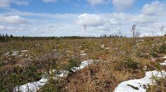 Kuva 4. Avohakattu ja istutettu metsikkö Kuusamossa
