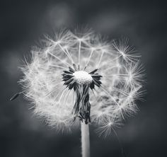 Dandelion Black and White Photography Photo Print. MEMBER - lladybuggz