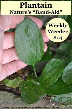 "This ""weed"" is a blessing in disguise. We share how to identify plantain herb, broadleaf plantain benefits and how to manage it in the yard and garden. Plantain Benefits, Plantain Herb, Lettuce Benefits, Wild Lettuce, Garden Yard Ideas, Edible Plants, Band Aid, Growing Herbs, Medicinal Plants"