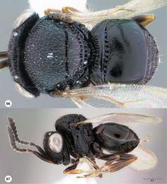 Trissolcus hullensis female