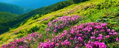 """""""Rhododendron"""" #rhododendron flowers in summer mountains early in the morning"""