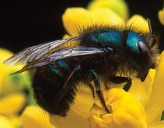 An effective pollinator of commercial blueberries, this blue orchard bee is a native solitary bee.