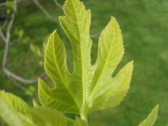 Problems With Fig Trees: Common Fig Tree Diseases - As rewarding as they are frustrating, figs are commonly troubled by several diseases. Knowing how to recognize fig tree diseases can help keep you one step ahead. Read here to learn more. Fruit Plants, Edible Plants, Fruit Garden, Edible Garden, Herbs Garden, Potted Trees, Trees And Shrubs, Trees To Plant, Fig Leaves