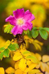 Foto: Wildrose im Herbst, Rosa rugosa; in Küstendünen verbreitet wachsende Kartoffelrose; Heckenpflanze