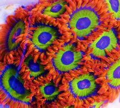 Fruit Loops Zoanthids