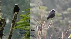 Marcelo Hübel: Viuvinha - Colonia colonus - Aves de São Bento do Sul - Santa Catarina - Brasil