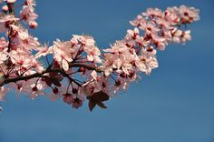 japanese cherry blossom tree (they are in full bloom; January!)