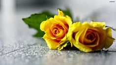 Yellow Rose Yellow roses are an expression of exuberance. Yellow roses evoke sunny feelings of joy, warmth and welcome. Morning Rose, Good Morning Flowers, Good Morning Wishes, Goog Morning, Monday Morning, Yellow Rose Flower, White And Pink Roses, Yellow Flowers, Rose Flowers