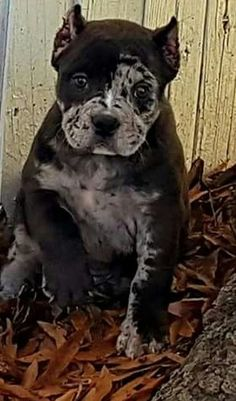 Merle American Bully puppy