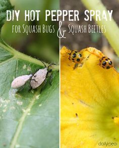 I hate squash bugs!' Here's a DIY hot pepper spray which is safe and natural via Tabasco sauce and water makes a great DIY spray to rid of other pesky pests in and around the home. Garden Bugs, Garden Pests, Lawn And Garden, Summer Garden, Farm Gardens, Outdoor Gardens, Natural Insecticide, Natural Pesticides, Pumpkin Vine