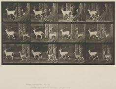 Eadweard Muybridge (American, b. England, 1830-1904)  Plate 685 from Animal Locomotion, 1887  Fallow deer, buck and doe, trotting.   Collotype on paper, 13-3/4 x 19-7/16 in.   Gift of Mrs. Jill Tane.  1994.8.33
