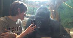gorilla kijkt foto's op iphone