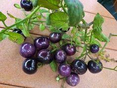 *VERY RARE* BLUE TOMATO* Seeds 25 Indigo Rose*ORGANIC* Open Poll* OSU*#1104-A