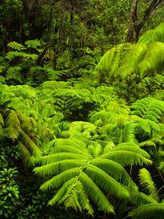 tree ferns Hawaii Volcanoes National Park