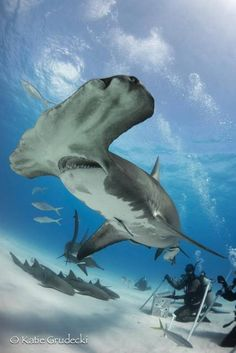A great hammerhead shark swims by a gaggle of scuba divers off Bimini in the Bahamas.