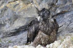 In fünf bis sechs Jahren sollen in der Zentralschweiz Bartgeier wieder in freier Wildbahn brüten. Am Sonntag sind auf der Melchsee-Frutt zwei männliche Jungtiere ausgewildert worden. Sie folgen auf…