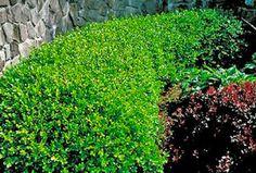 Winter Gem Boxwood Buxus microphylla var. koreana Winter Gem from Costco                                                                                                                                                     More