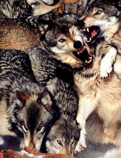 Wolves fighting.