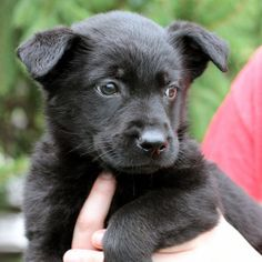 Carina and littermates (A003497) is an adoptable Retriever Dog in Springfield, IL.  ...