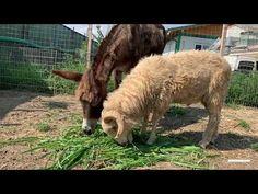Die Eselstute Puica und Widder Nhan 🐏 erfreuen sich an der Gesellschaft des jeweils anderen ✨. Wie ihr euch vielleicht erinnert, wurden Puica, die Eselstute, und Nhan, der Widder, beide aus unterschiedlichen Notlagen gerettet: Die schöne Puica wurde auf einem Feld etwa 60 km von Bukarest entfernt völlig verwaist aufgefunden 💔. Sie konnte nicht stehen, lag auf dem Boden und hatte Schmerzen. Glücklicherweise konnte unsere lokale Partnerorganisation ARCA sie gerade noch rechtzeitig retten💨… The Donkey, Sheep, Abandoned, Goats, Animals, Comme, Beautiful, Bucharest, Female