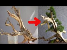 Growing bonsai from their seeds is essentially growing a tree from its seed. Get tips and guidelines on how to grow your first bonsai from its seed phase. Bonsai Tree Price, Bonsai Trees For Sale, Bonsai Tree Care, Maple Bonsai, Juniper Bonsai, Bonsai Plants, Bonsai Garden, Bonsai Wire, Home Vegetable Garden Design
