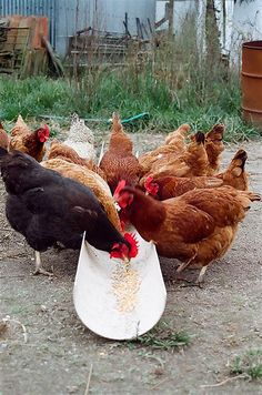 The chicken buffet - That's how you keep most of the food off the ground - easy to clean, too.