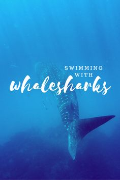 Swimming with Whalesharks on Ningaloo Reef: Find out what it's like to swim with the biggest fish in the ocean.