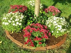 Growing Chrysanthemum Flowers: How To Care For Mums - Chrysanthemum flowers are a classic addition to brighten the autumn garden. Growing mums is not complicated once you learn the basics of chrysanthemum care. This article can help with that.