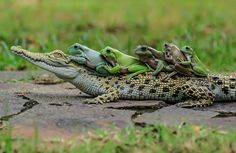 Photo by Tanto Yensen/Media Drum World Photo Agency A group of frogs hitched a lift on a passing crocodile. The multi-coloured group of five amphibians appeared… Crocodile Marin, Group Of Frogs, Unlikely Animal Friends, Baby Animals, Cute Animals, Small Lizards, Saltwater Crocodile, Cute Frogs, Frog And Toad