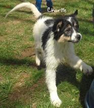 CHARLIE - Australian Terrier