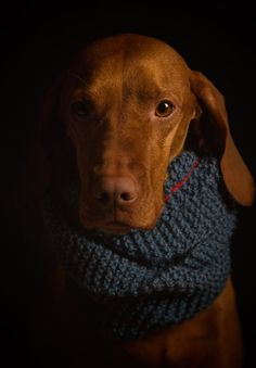 Winter Vizsla by photographer Jacqui Wakelam
