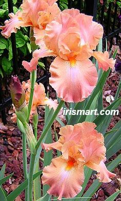 Tall Bearded Iris 'Dodge City' (Iris germanica)